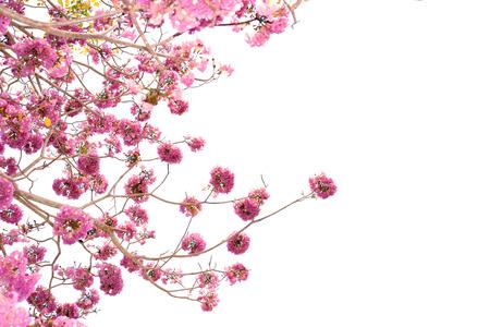 Pink trumpet tree flower blooming