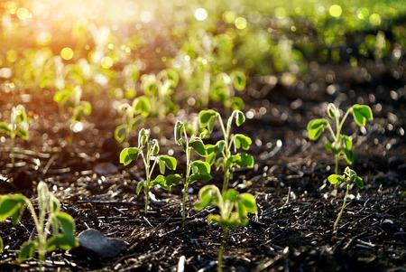 samanea saman: Green sprout growing from seed. (Samanea saman (Jacq.))