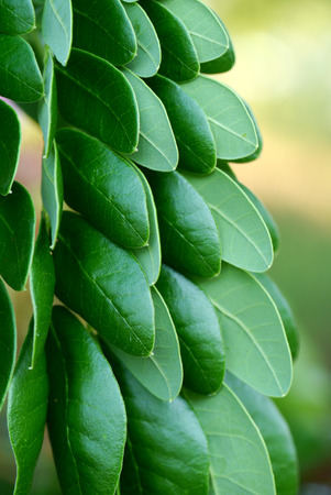 samanea saman: Leaves of rain tree. (Samanea saman (Jacq.)) Stock Photo