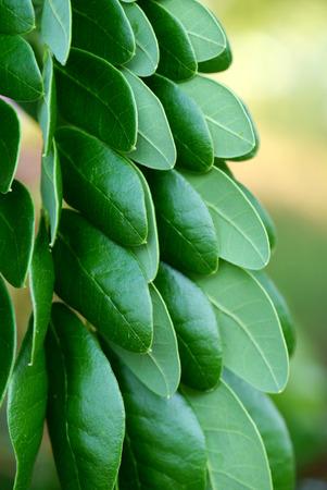 samanea saman: Leaves of rain tree. (Samanea saman (Jacq.)) Stock Photo
