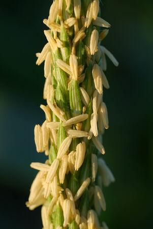 corn flower: Macro of Corn flower.
