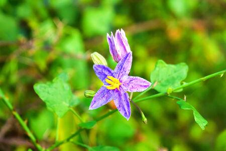 linn: Flower of Thai Herb (Solanum Trilobatum Linn.)