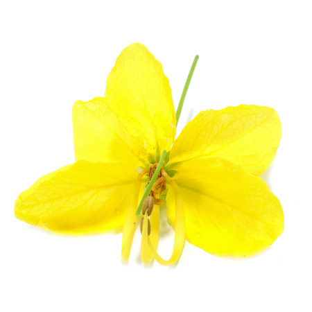 Cassia Flower on white background.