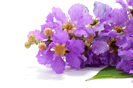 pers: Violet color of Queens crape myrtle flower on white background. (Lagerstroem ia speciosa (L.) Pers.)