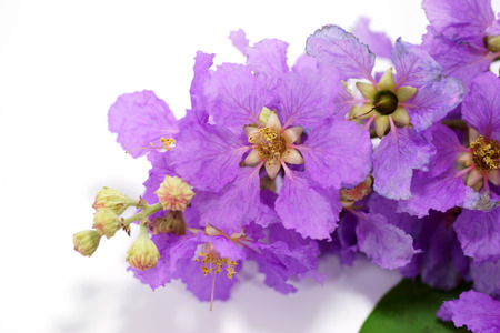 Violet color of Queens crape myrtle flower on white background. (Lagerstroem ia speciosa (L.) Pers.) photo