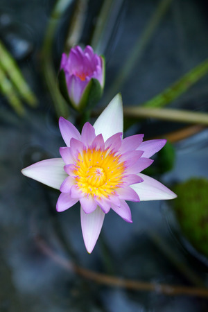 beautiful pink waterlily or lotus flower. photo