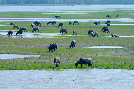 wildlife conservation: Water buffalo eating grass in wildlife conservation, Thailand.