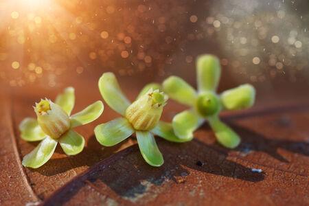 caoba: flor de la caoba en las hojas