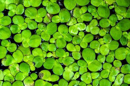 duckweed: Macro of duckweed Stock Photo