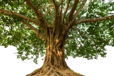 fig tree: Large Bodhi tree Stock Photo