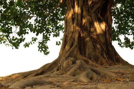 Large Bodhi tree photo