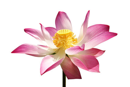 pink lotus flower blooming in the garden. photo