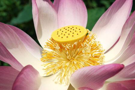 Lotus pollen flower blooming in the garden. photo