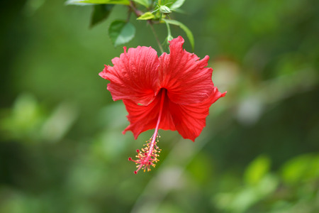 Red hibiscus. photo