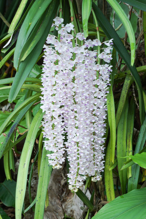 Bouquet of white and pink orchids in rainforest (Rhynchostylis retusa (L.) Blume.), Thailand. photo