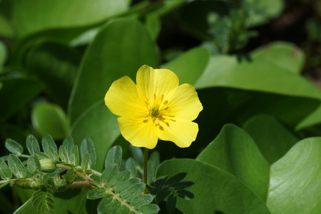 Yellow flowers. (Tribulus terrestris Linn.)