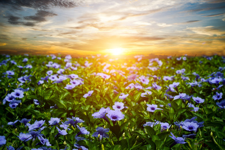 petunia wild: Purple flowers bloom in the morning. (Ruellia tuberosa Linn. Waterkanon, Watrakanu, Minnieroot, Iron root, Feverroot, Popping pod, Trai-no, Toi ting)