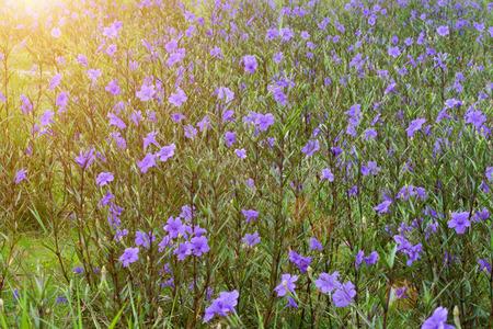 petunia wild: Violet flowers bloom in the garden. (Ruellia tuberosa Linn. Waterkanon, Watrakanu, Minnieroot, Iron root, Feverroot, Popping pod, Trai-no, Toi ting)