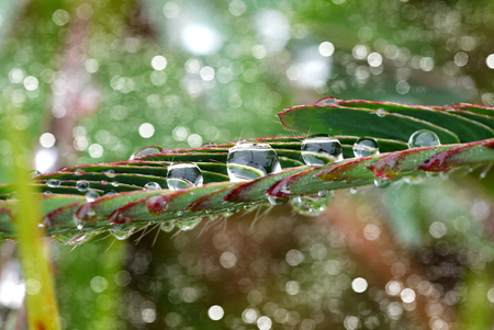 Mimosa pudica dew on the leaves in the morning. photo