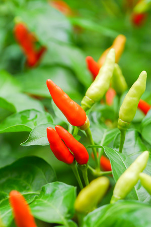 tapering: mixed colored chilli peppers on tree. Stock Photo