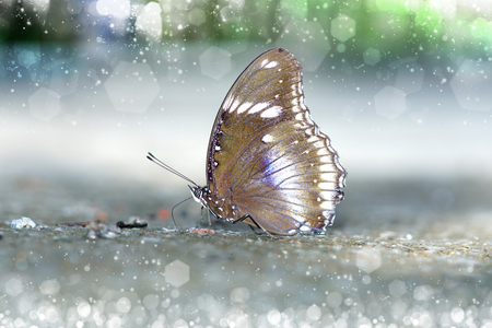 nymphalidae: Butterfly feeding on the ground