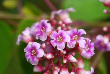 carambola: star apple flower, (Averrhoa carambola L. Carambola) Stock Photo