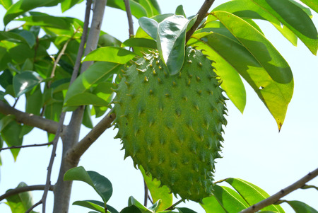 prickly: Soursop, Prickly Custard Apple. (Annona muricata L.) Treatment of cancer.