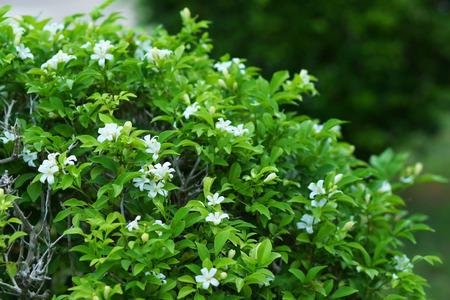 jessamine: Orang Jessamine, China Box Tree, Andaman Satinwood, Chinese Box-wood   Murraya paniculata  L   Jack