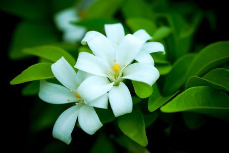 jessamine: Orang Jessamine, China Box Tree, Andaman Satinwood, Chinese Box-wood. (Murraya paniculata (L.) Jack.) Stock Photo