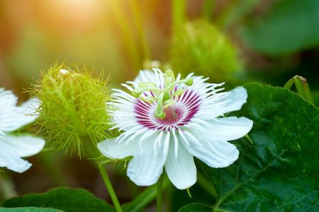mellifera: Fetid passionflower, Scarletfruit passionflower, Stinking passionflower (Passiflora foetida)