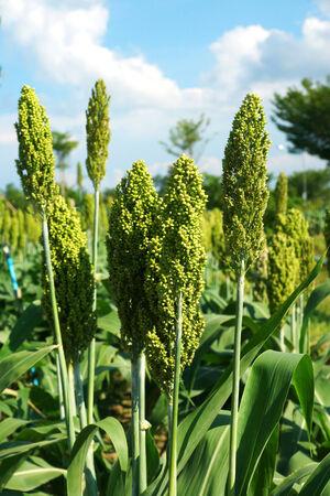 sorgo: El sorgo o campo Millet