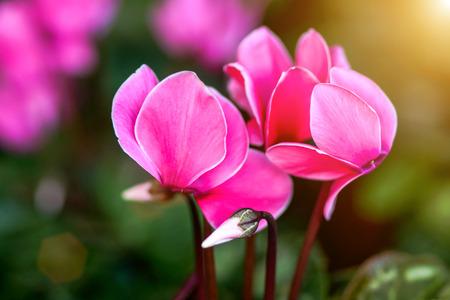Pink gorgeous cyclamen flower photo