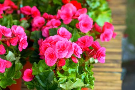 begonia: flor de la begonia. Foto de archivo