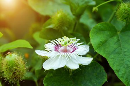 Fetid passionflower, Scarletfruit passionflower, Stinking passionflower (Passiflora foetida) photo