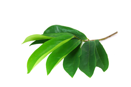 Leaves of Soursop tree, Prickly Custard Apple. (Annona muricata L.) Treatment of cancer.