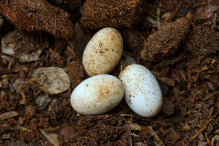 reproduction animal: Cobra eggs on the ground.