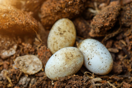 pythons: Cobra eggs on the ground.