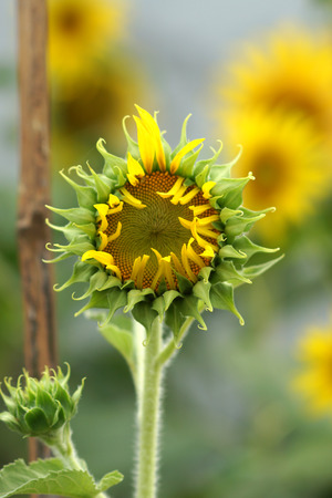 yellow sunflowers is blooming. photo