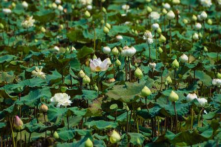 nucifera: Blooming Flor de loto (Nelumbo nucifera), Tailandia. Foto de archivo