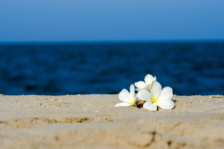 White Frangipani flower in the morning on the beach. photo