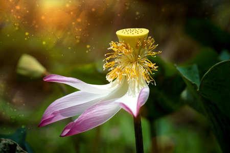nucifera: El polen de la flor de loto (Nelumbo nucifera), Tailandia.