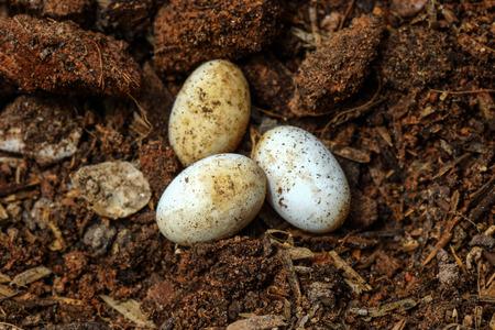 pythons: Cobra eggs on the ground.