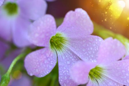 False Shamrock flower. (Oxalis triangularis.) photo