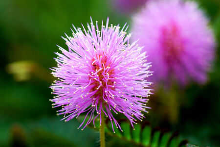 Beautiful blooming pink flower of sensitive plant (mimoza) photo
