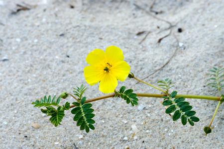 Yellow flowers. (Tribulus terrestris Linn.) photo
