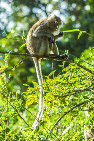 Long-tailed monkey on a branch photo