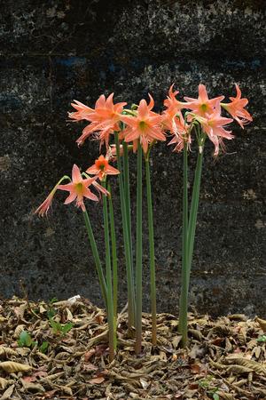 hippeastrum flower: Orange Hippeastrum flower Stock Photo