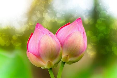 effloresce: Pink lotus Stock Photo
