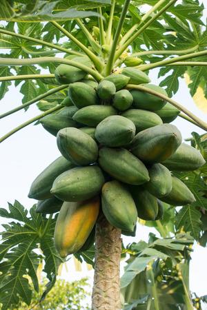 Ripe and raw papaya on the tree.
