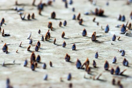 barnacles: Balani collo d'oca Archivio Fotografico